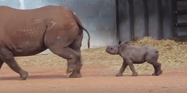 A baby rhino has been revealed at a NSW zoo.