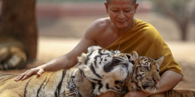 All tigers have now been removed from the controversial 'temple' in Thailand.