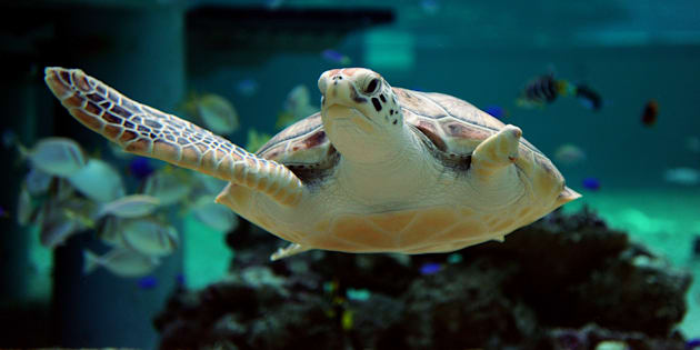 Green turtles were among the 748 marine life caught in the shark nets .