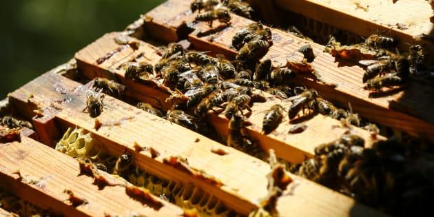 La justice suspend deux pesticides soupçonnés de nuire aux abeilles (Image d'illustration)