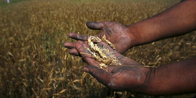 A farmer shows wheat crop damaged by unseasonal rains in his wheat field at Sisola Khurd village in the northern Indian state of Uttar Pradesh, March 24, 2015.