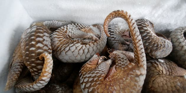 The pangolinwas one specieshighlighted in the recent bushmeat report. Pangolins, found in both Asia and Africa, are killed for their meat and also for their scales, which are used in traditional medicines.