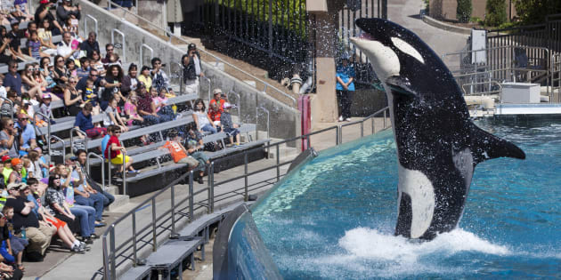 Sea World San Diego's orca shows were world famous.