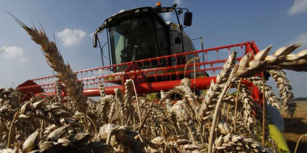 La majorité de la production céréalière sert à nourrir veaux, vaches, cochons car pour produire un kilo de viande, il faut dix kilos de céréales.