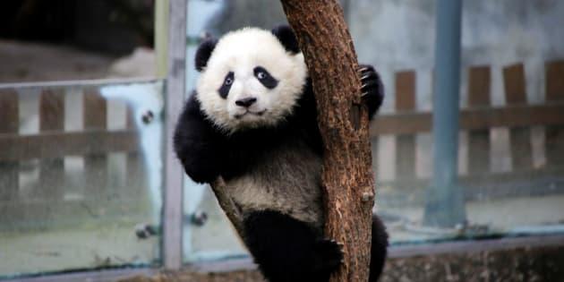 Zoo de Beauval: Le prénom du bébé panda choisi par Brigitte Macron et la première dame chinoise, ce n'est pas un hasard