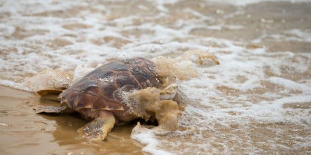 Entre las especies encontradas muertas en las costas mexicanas hay ejemplares en peligro de extinción.