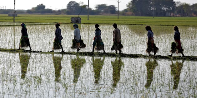 Farmers carry saplings in a paddy field on the outskirts of Ahmedabad, India.