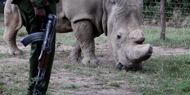 A police officer looks at a northern white rhino, only three of its kind left in the world, as it moves in an enclosed and constantly protected perimeter ahead of the Giants Club Summit of African leaders and others on tackling poaching of elephants and rhinos, Ol Pejeta conservancy near the town of Nanyuki, Laikipia County, Kenya, April 28, 2016. REUTERS/Siegfried Modola