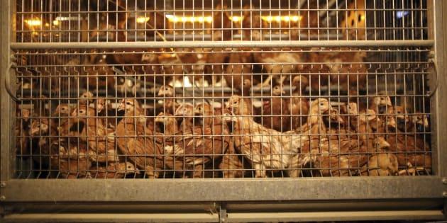 Carrefour va arrêter de vendre des œufs de poules élevées en cage