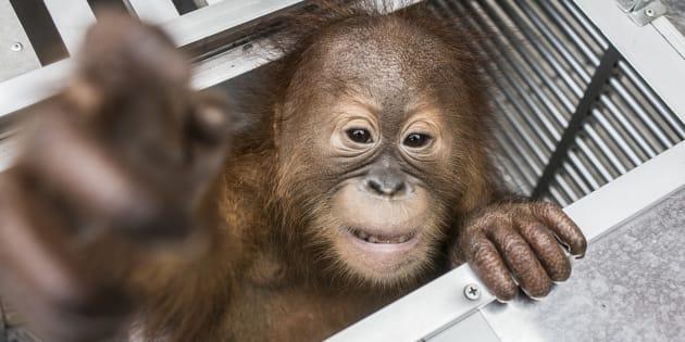 Trovato orangotango drogato in valigia all