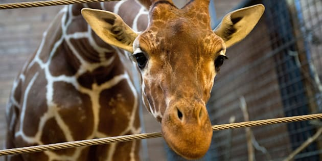 Marius the giraffe, pictured in February 2014.