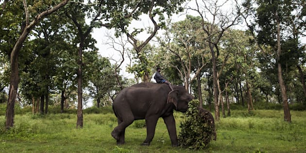 An Indian mahout riding a working elephant as they clear vegetation from a forest area at Bandipur Tiger reserve in the Indian state of Karnataka. (Photo: XAVIER GALIANA / AFP/Getty Images)