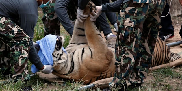 A sedated tiger is stretchered as officials start moving tigers from Thailand's controversial Tiger Temple, a popular tourist destination which has come under fire in recent years over the welfare of its big cats in Kanchanaburi province, west of Bangkok, Thailand, May 30, 2016. REUTERS/Chaiwat Subprasom     TPX IMAGES OF THE DAY