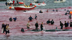 Whaling In The Faroe Islands: Senseless Slaughter Or A Justified Way Of