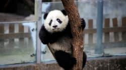 Brigitte Macron et la première dame chinoise vont choisir le prénom du bébé panda et ce n'est pas un