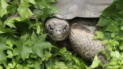 Fugitive Tortoise Escapes Zoo, Travels 140 Metres In Two