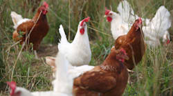 Hong Kong blocca pollo e uova provenienti da Padova:
