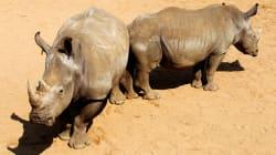 Des embryons hybrides, première étape d'un plan fou pour sauver les rhinos