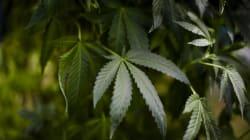 Manque de temps pour s'ajuster à la légalisation du