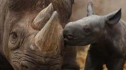 Cazadores en Kenia matan a dos rinocerontes negros (en peligro de extinción) y a su