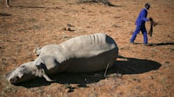 Rhinos Are Hunted By A