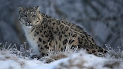 Snow Leopards Are No Longer Listed As