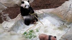 France's Playful Baby Panda Makes 1st Public
