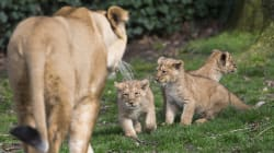 Des Moines Zoo Caring For 3 African Lion
