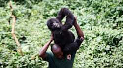 Virunga National Park, Home To Imperilled Gorillas, Closes For The Year Amid