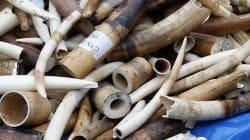 Le trafic d'ivoire d'éléphant ne semble pas ralentir, au