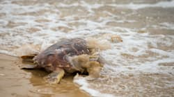 ¿Qué está pasando en las costas mexicanas? Ahora encuentran 105 tortugas