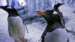 Investigadores descubren pingüinos del tamaño de un