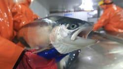 Le Chili s'inquiète après que 700.000 saumons traités aux antibiotiques se sont