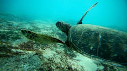 Sea Turtles Use Their Flippers Like Clunky, Adorable Arms To Obtain Food, Study