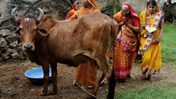 In Rajasthan, Cow Urine Is Selling For As Much As