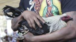 La Corte declara constitucional prohibir las peleas de gallos y los toreros