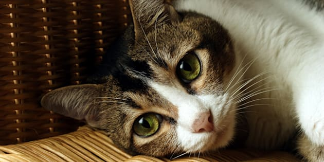 Cats are being infected with a long-forgotten virus.