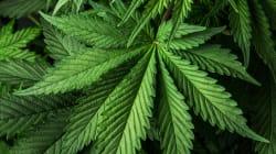 Empresarios crearán la Cámara de la Industria del Cannabis en