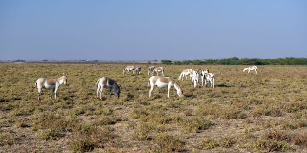 Endangered Indian Wild asses in the Little Rann of Kutch, a semi-desert salt marsh and wild ass sanctuary in Gujarat.