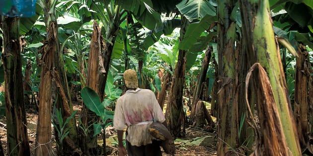 En Martinique, un agriculteur dans une plantation de bananes, produit traité pendant plusieurs années au chlordécone.