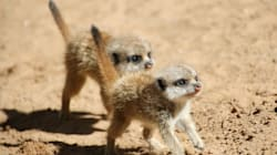 This Huge Litter Of Baby Meerkats Is Almost Too Much Cute To