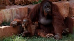 Mother Orangutan Escapes Perth Zoo Enclosure To Rescue Baby