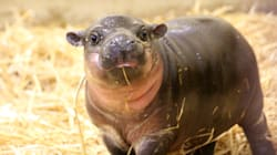 Say Hello To This Adorable Pygmy Hippo
