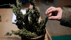 L'argent du cannabis doit être réinvesti en recherche, prône un député