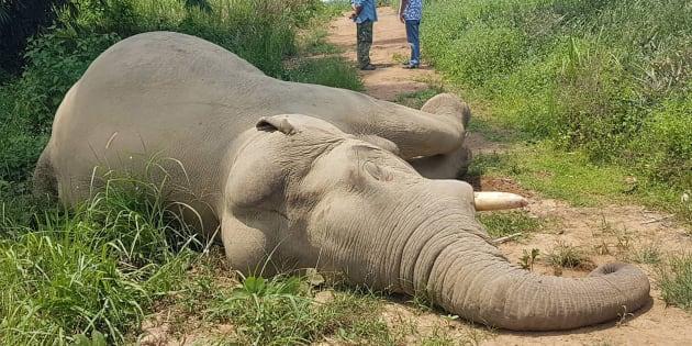 L'éléphant tué cette fois-ci était un mâle d'une trentaine d'années pesant quatre tonnes.