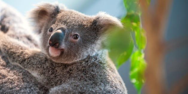 Koalas need our help.