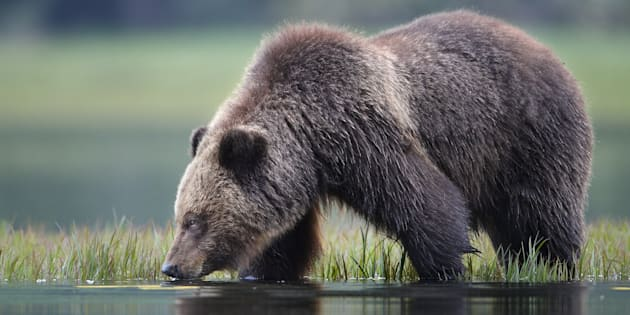 A grizzly bear drinks water in Khutzeymateen Inlet of the Great Bear Rainforest along the northern coast of British Columbia.