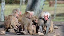 52 Baboons Break Out Of Paris