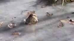 Intrappolato nel lago ghiacciato, l'alligatore trova un modo geniale per