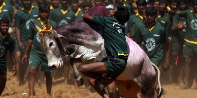 A traditional bull taming festival called 'Jallikattu' being held in Palamedu near Madurai.